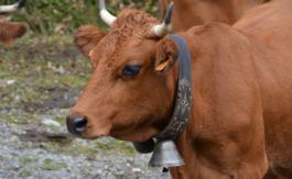 Haute-Savoie: des résidents lancent une pétition contre les cloches des vaches